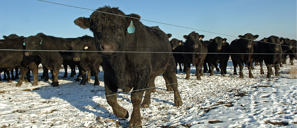 Cow in cold weather