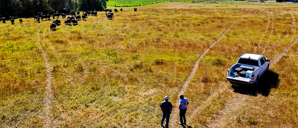 Ranchers surveying a field of cattle.