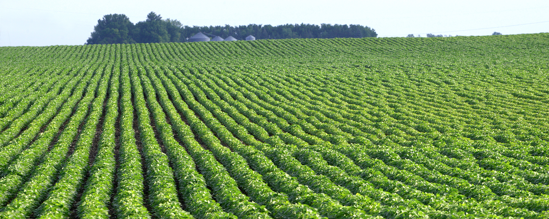 Agriculture_1920x768, Green, agriculture, landscape, crop, crops, soybeans, field, fields, Soybean field, field of soybeans, trees, rows, Farming