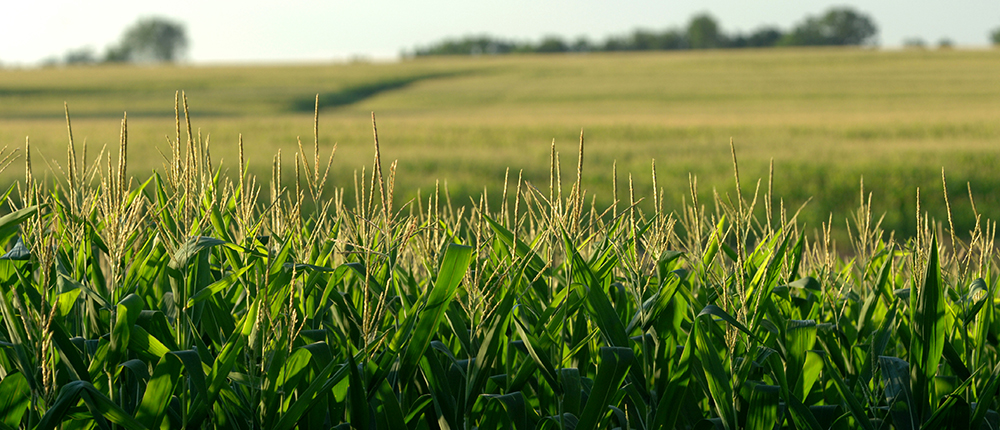 field , corn , crop , agriculture , corn field , Corn_NewsPhoto_1000x430