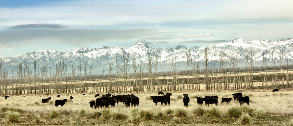 South-America_1000x430 , cow , beef , cattle , mountain , snow , field ,